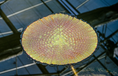 Leaf lotus on pond photo
