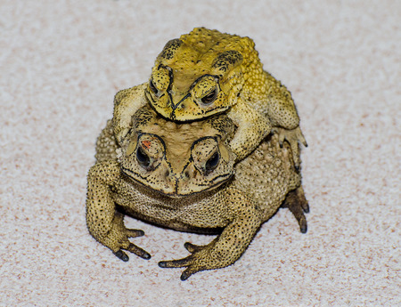Toads  mating photo