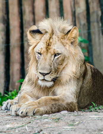 Big lion in zoo photo