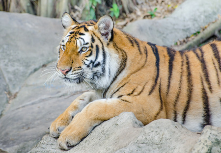 Hermosa tigres de Sumatra photo