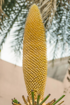 cycas: Male Cycas cairnsiana reproductive cone in garden