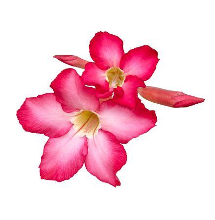 Colorful of Desert rose isolated on white background photo