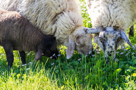 cropping: Two sheep and a dark lamb cropping a daisy grass Stock Photo