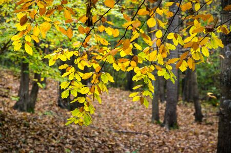 pending: Chestnut foliage in italian woods. Stock Photo