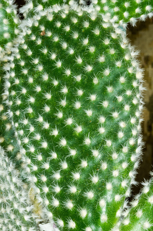 microdasys: Close-up detail of Opuntia microdasys