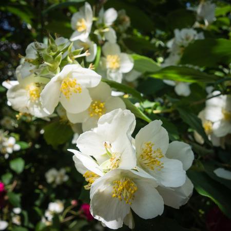 Beautiful white flowers of Philadelphus coronarius on a branch