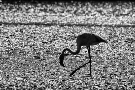 camargue: Camargue: pink flamingo near Saintes-Maries-de-la-Mer, France