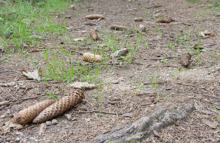 nature backgrounds: Forest Track With Cones, Selected Focus, Blurry Background