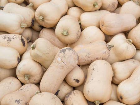 cucurbit: Harvest: Heap of Butternut Squash, Cucurbita moschata