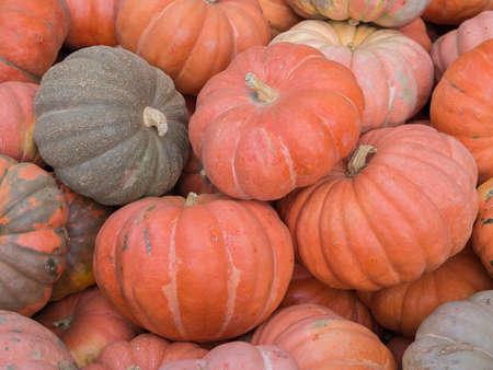 cucurbit: Harvest: Heap of Garbo Squash, Cucurbita maxima
