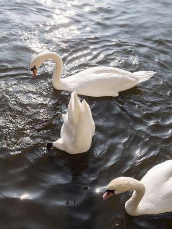 White Mute Swans, Cygnus olor Stock Photo