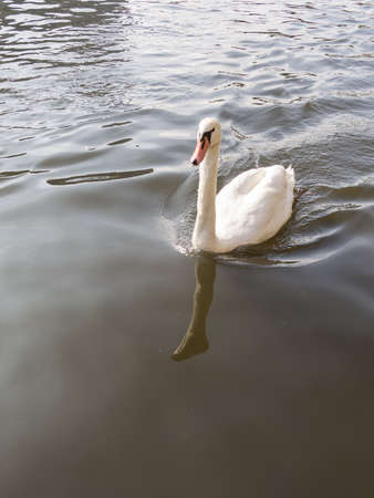 White Mute Swan, Cygnus olor, Swimming