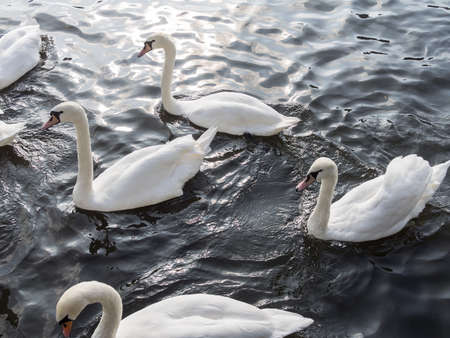 White Mute Swans Swarm, Cygnus olor, Swimming