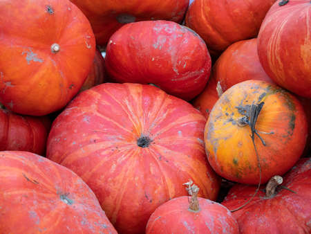 Harvest: Heap of Rouge vif dEtampes Pumpkin, Red Cucurbita maxima