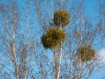 Mistletoe In A Birch Tree Against A Blue Sky In Winter