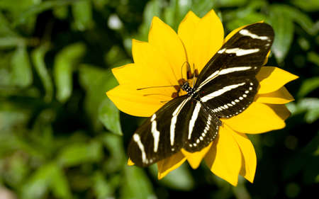 longwing: A Zebra Longwing Butterfly lands for some pollination