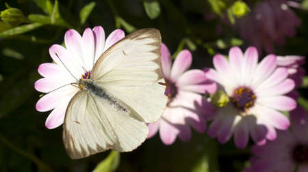probing: A common looking butterfly lands on a flower Stock Photo