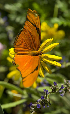 A Butterfly lands for some pollination photo