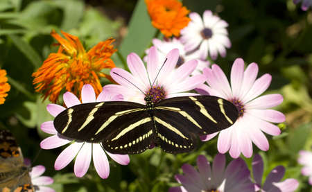 A Zebra Longwing Butterfly lands for a snack photo