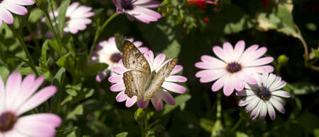 A White Peacock butterfly lands on a garden flower Stock Photo - 14569535