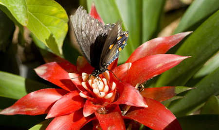 probing: A Pipevine Swallowtail feeds on a garden flower