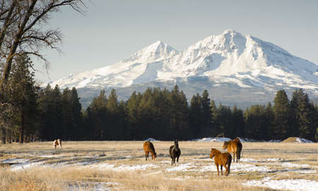 horse in snow: Horses graze near the base of Three Sisters in Oregon State Stock Photo