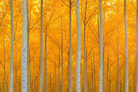 sentier: Un peuplement d'arbres commence � surmonter le froid d'automne
