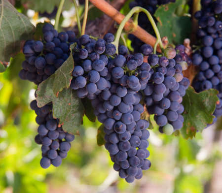 Amazing succulent Grapes on the Vine just before harvest Stok Fotoğraf - 15039081