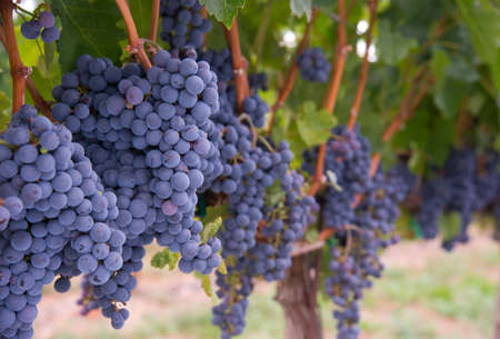 포도 수확: 포도 나무에 놀라운 즙 포도 직전에 수확 스톡 콘텐츠