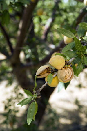 Almond Tree still needs time before the harvest photo
