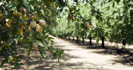 Almond Grove in California Stock Photo