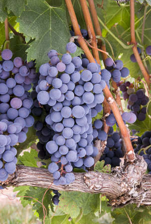 shiraz: Grapes on the Vine