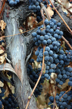 A well seasoned grape vine and trunk with ripened grapes ready to harvest photo