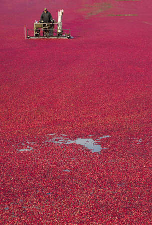 A Farmer of Cranberries cultivates his crop right before harvest