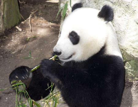 A panda takes lunch as he does for most of the day on bamboo photo