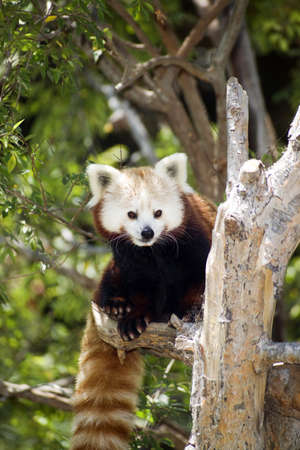 A red panda takes a break from lunch to check the surroundings photo