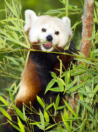 A panda takes lunch as he does for most of the day on bamboo and leaves photo
