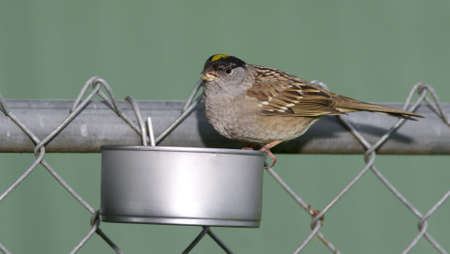 A used chicken breast tin can serves as a hearty food containier for backyard critters photo