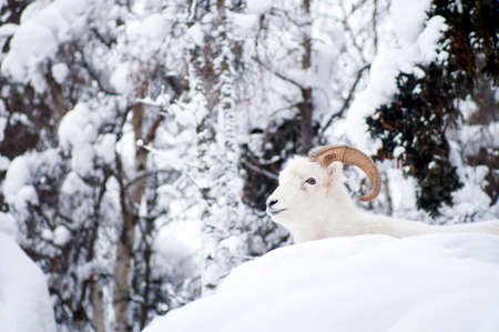 Resting Dall Sheep lays in the fresh snow photo