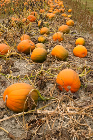 Pumpkin pile ready for harvest at the local farm