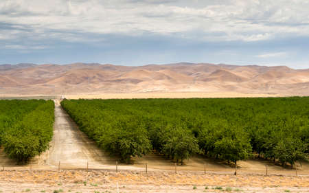 A fruit orchard looks very healthy in the Californai countryside
