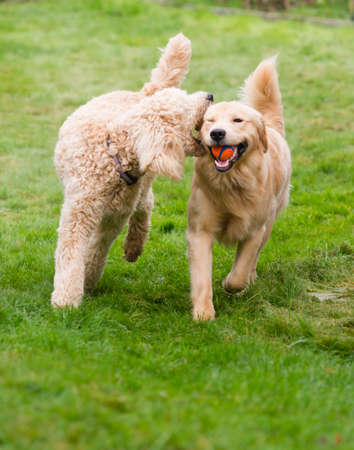 Two full size dogs play fetch the ball together photo