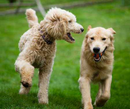 Two full size dogs play fetch the ball together