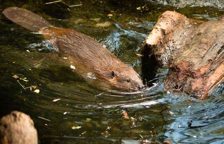castoro: A Beaver nuota in legno di ritrovo per sua loggia Archivio Fotografico