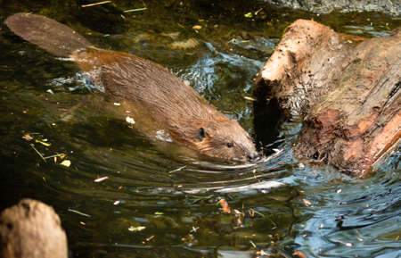 A Beaver swims around gathering wood for his lodge