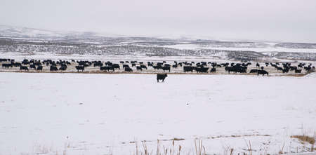 Black Cows show beautiful contrast against the white snow of a rural farm photo
