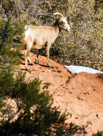 sentry: Wild Animal Alpine Mountain Goat Sentry Protecting Band Flank Forest