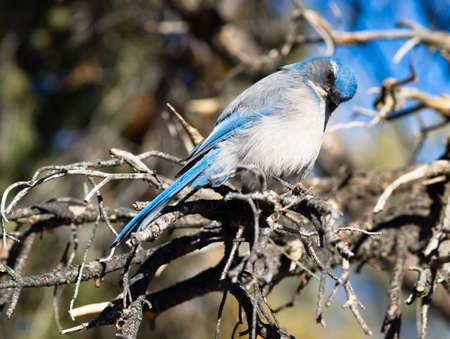 handout: A blue bird hangs out in the picnic area looking for a handout Stock Photo