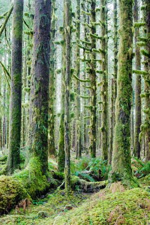 bark rain tree: Trees growing in a tight pattern in a dense moss covered forest