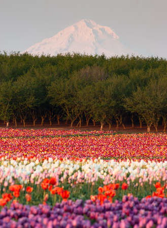 Multiple colors of Tulips grow in the field with Mt. Hood beyond